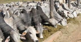 619_agricultura-alimentacao-animalbovino